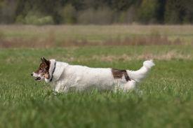 picture of laika  - Cute Siberian husky  - JPG