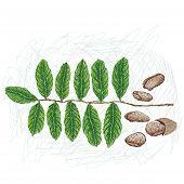 Tahitian Chestnut 2