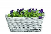 Sweet Pansies In Plait Basket - Front View