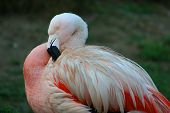 Flamingo Fluffing his Feathers