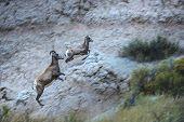 Badlands Bighorn Sheep jumping over rocks