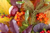 Leaves, cotoneaster and ashberries as background