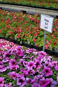 Petunias for sale