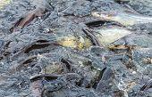 Crowd Of Snake-head Fish