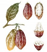 stock photo of bean-pod  - hand drawn cocoa beans set in color - JPG