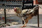 Fowl, Domestic