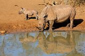 White rhinoceros (Ceratotherium simum) with calf drinking water, Mkuze game reserve, South Africa