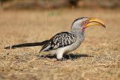 Yellow-billed hornbill (Tockus flavirostris) sitting on the ground, South Africa