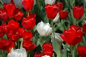 waxy red and white tulips