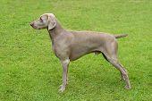 Typical Weimaraner Short-haired Dog