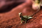 picture of terrarium  - The lizard on a red sand at terrarium