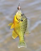 picture of bluegill  - A freshwater sunfish caught on a fish hook - JPG