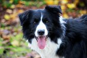 image of collie  - an happy border collie that look the camera - JPG
