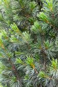 Fir Tree Branch Background
