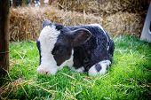Cute Little Calf Laying In Grass