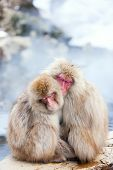 picture of macaque  - Snow Monkeys Japanese Macaques at onsen hot springs of Nagano - JPG