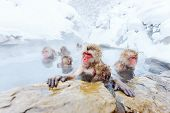 foto of macaque  - Snow Monkeys Japanese Macaques bathe in onsen hot springs of Nagano - JPG