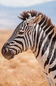 stock photo of saharan  - A portrait of a Zebra in the Ngorongoro crater in Tanzania Africa - JPG