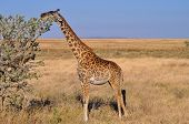 stock photo of mimicry  - Giraffe feeding on an acacia in Africa - JPG