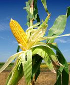 pic of corn cob close-up  - Corn close - JPG