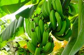 picture of banana tree  - Green banana - JPG
