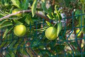 pic of orange-tree  - Fresh green oranges on tree - JPG