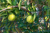 stock photo of orange-tree  - Fresh green oranges on tree - JPG