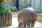 stock photo of hippopotamus  - big hippopotamus seen from behind in a zoo - JPG