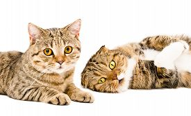 pic of scottish-fold  - Portrait of two cats Scottish Straight and Scottish Fold  together - JPG