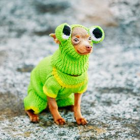 picture of cute frog  - Beautiful Tiny Chihuahua Dog Dressed Up In Frog Outfit - JPG