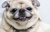 Pug smiling with punk studded dog tag