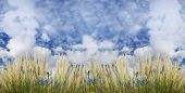 Field and sky view with fluffy white clouds poster