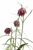 Flowers Of The Fritillaria Meleagris