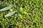 stock photo of olive branch  - a pile of olives after the harvesting in an olive grove in Catalonia - JPG