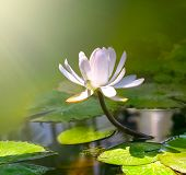 stock photo of single flower  - water lily flower - JPG