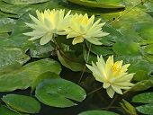 Three Yellow Water Lilies
