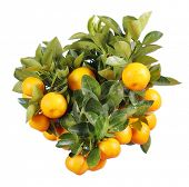 pic of mandarin orange  - orange tree isolated - JPG