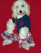 Dressed Up Dog Looking Like A Teddy Bear