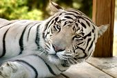 stock photo of white-tiger  - white tiger waking from nap - JPG