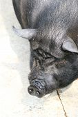 picture of pot bellied pig  - a black pot belly pig contrasts with the light ground