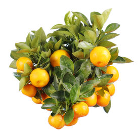 foto of mandarin orange  - orange tree isolated - JPG