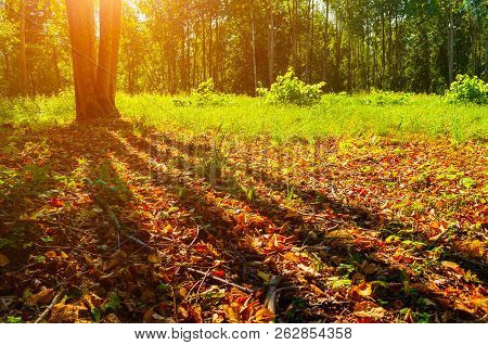 poster of Autumn forest trees in sunny September autumn forest lit by evening sunshine. Colorful autumn landscape with sunbeams breaking through the autumn forest trees
