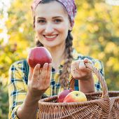 Farmer woman in fruit orchard holding apple in her hands offering, focus on the fruit poster