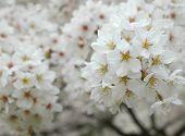 Japanese White Sakura