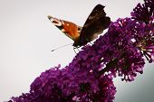 European Peacock Butterfly On A Flower Of Butterfly Bush.aglais Io, The European Peacock,more Common poster