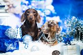Puppy dachshund, New Years puppy, Christmas dog