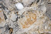 Embedded fossil of a seashell in a coastal rock