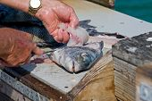 picture of bluegill  - A man cleans a freshly caught fish on a pier - JPG