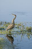 Juvenile Great Blue Heron calling in a Florida pond