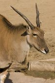 image of eland  - An Eland  - JPG